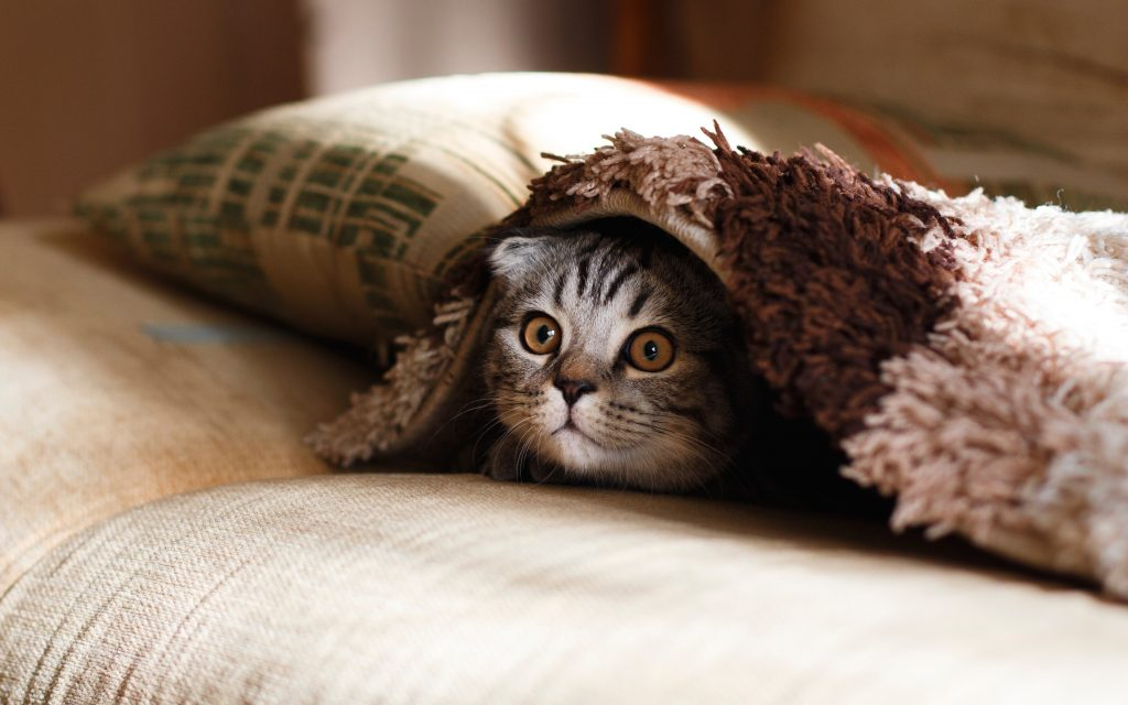 wide-eyed gray striped cat peering from under blanket