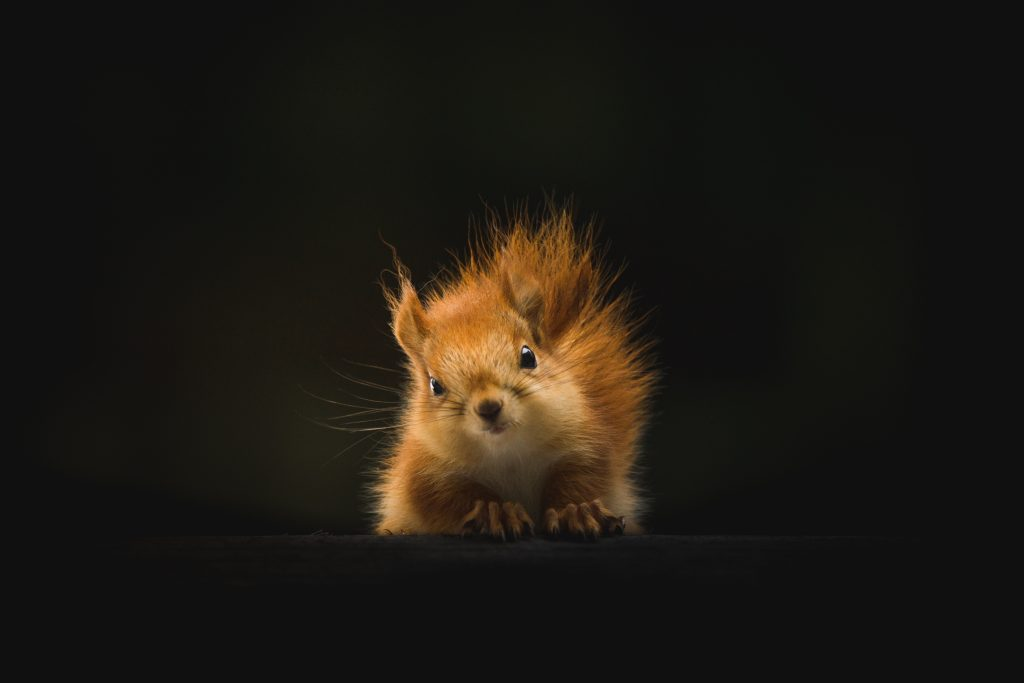 fuzzy golden brown squirrel against black background