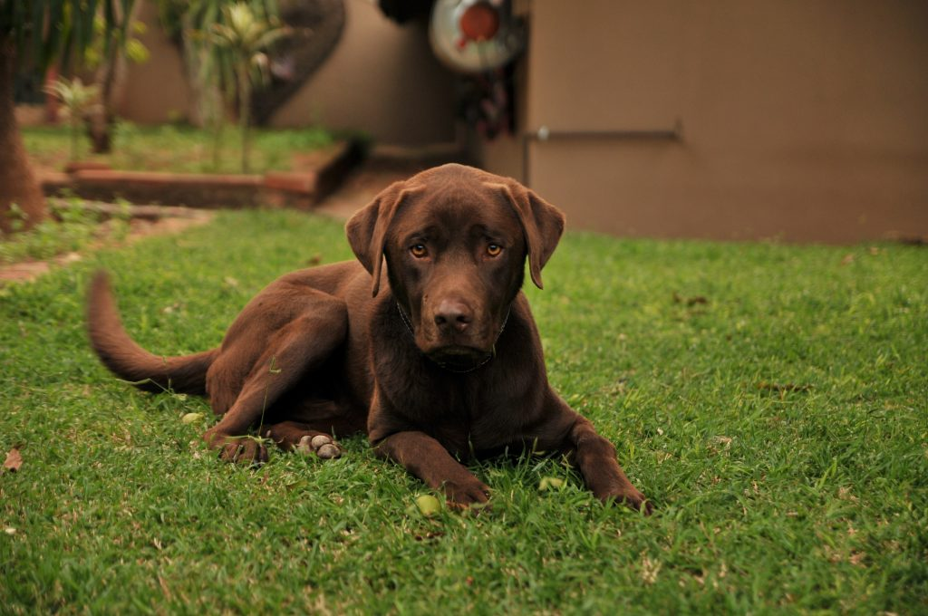 chocolate labrador retriever - pet sitting make extra money